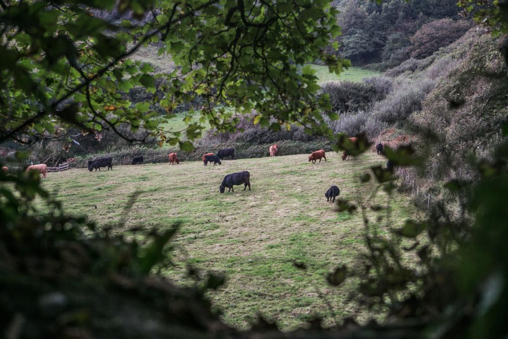 Die weidenden Kühe Cornwalls.